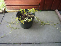 HEALTHY PERIWINKLE PLANT IN 9 INCH PLASTIC POT - VERY GOOD CONDITION
