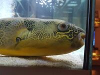 puffer fish mbu puffer for sale healty and really big