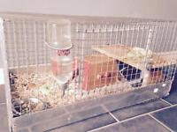 8-9month male guinea pig