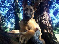 Belgian Shepherd (Malinois) Puppy