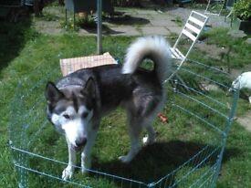 3 Year Old Siberian Husky