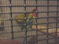 rosella Parrots with large cage 1 year in 5 years