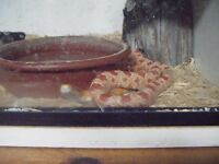 For sale-2 year old corn snake and small set-up