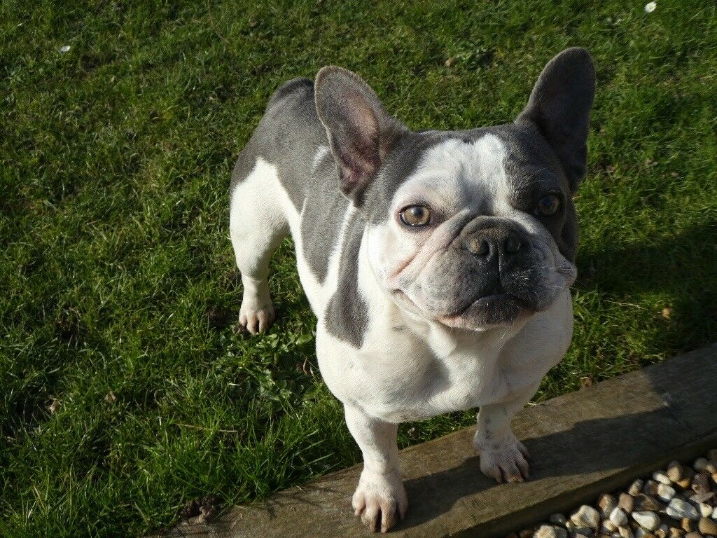 French bulldog adult female KC registered