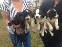 Basset hound cross cocker spaniel puppys