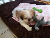 7 month old Shihtzu bitch pup.