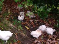 silkies, 12 weeks old, cocks and hens, make ideal garden chickens, not too big