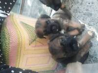 Chunky border terrier pups