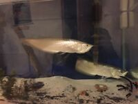 "Selling 2 silver arowana's 28""+, one exotic fish and a tank"
