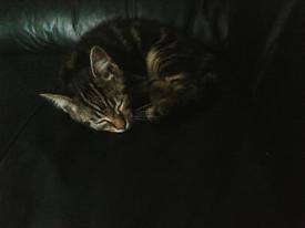 10 Week old tabby kitten