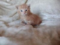 *****TABBY FLUFFY MALE GINGER TIGER STRIPED TINY KITTEN FOR SALE*****