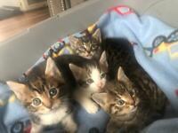 4 gorgeous tabby kittens