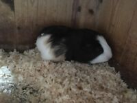 Baby male guinea-pig