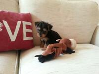 gorgeous cute little mini yorkshire terrier puppies (miniature yorkie pup )