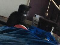 Exotic kittens for sale make black girl torte loving homes only 100 each