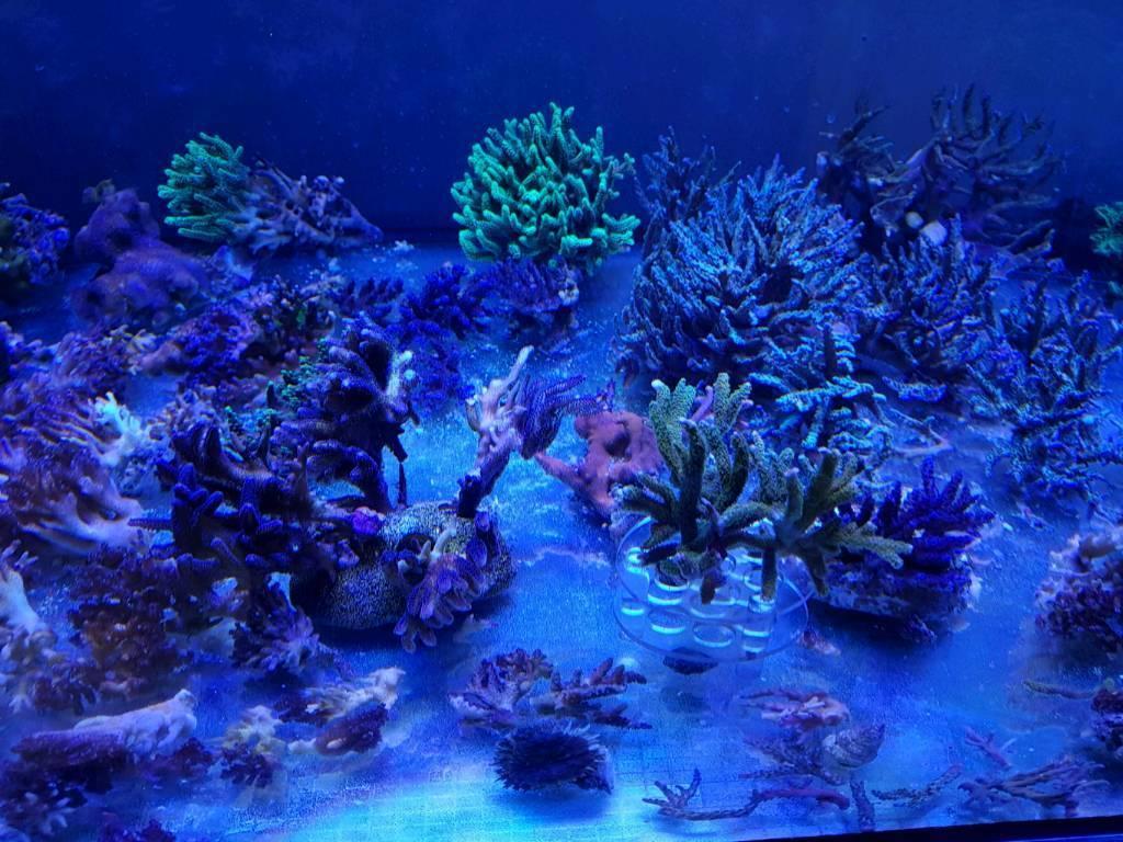 Sps corals for sale . Marine aquarium