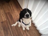Cocker Spaniel male 5 months black and white £250