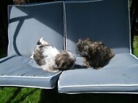 SHIH TZU KENNEL CLUB REG
