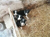Border collie pups £250 each 2 males left