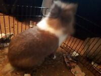 Lionhead rabbit doe