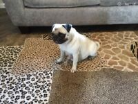 KC REGISTERED FAWN PUG MALES