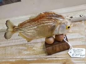 Taxidermy Piranha