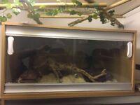 Very friendly Carolina corn snake and vivarium