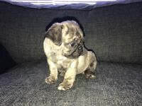 Beautiful kc litter of pug puppies