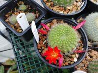 Flowering cactus - currently not in bloom