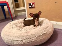 KC Chocolate Chihuahua Male Puppy