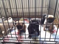 Pedigree pug puppies ready for forever homes 2nd of April