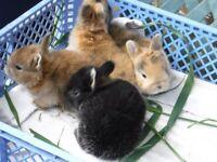 rabbits netherland dwarf