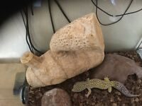 Spotted Leopard Gecko with full set up