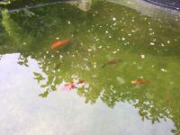"POND FISH - Shubunkin - 2""-3"" various colours"