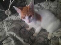 Beautiful boy Kitten