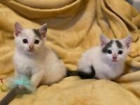Beautiful White and Grey Kittens
