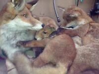 Taxidermy Fox Family