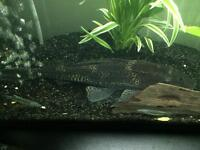 *Free to a good home* Large Common Pleco (Approx 10-12 inches)
