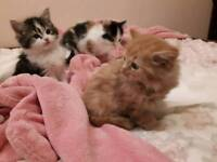 4 very fluffy kittens