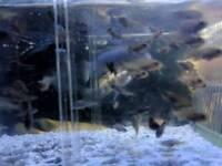 40 plus malawi tropical fish fry