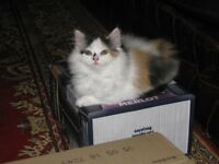 Part-Persian fluffy and chunky kitten