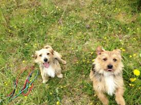 Two lovely young male yorkie mixes. tel 07742540521