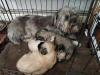 Shihtzu/ Yorkshire Terrier puppies