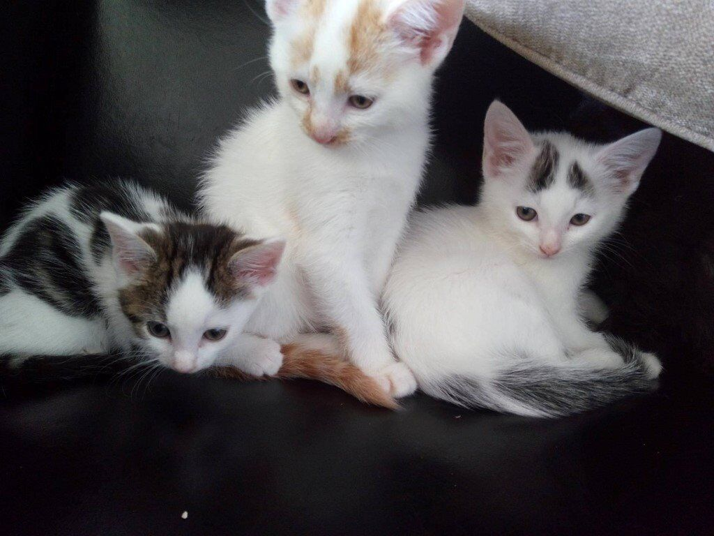 3 Lovely small breed kittens for sale in Rumney Cardiff