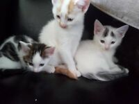 3 Lovely small breed kittens for sale