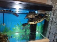2 terrapins with complete set up