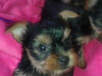tea cup yorkshire terriers four puppies 3boys 1girl $450 for girl $400 boys ready to go