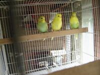 Baby budgies for sale East Harling. 20/09/18 still for sale.