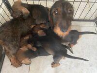 Wired haired dachshund puppies