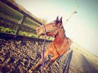 15.2 mare for loan